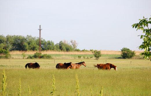 Pferde in der Puszta