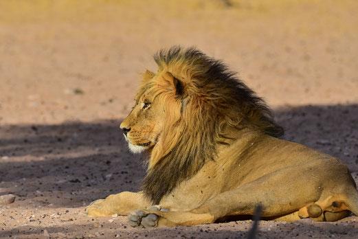 Unser erster Löwe auf dem Nachmittags-Game Drive