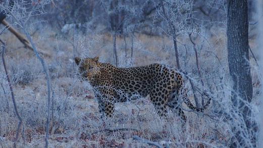 Léopard ; Etosha ; Namibie. Sauvage Max de nature