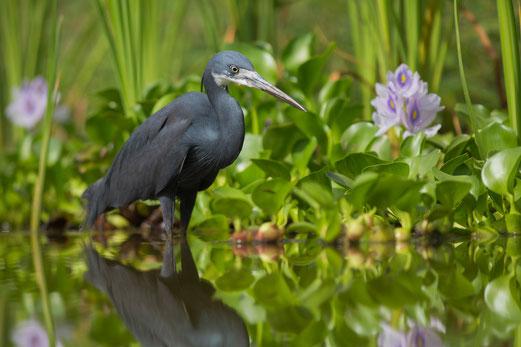 Aigrette des récifs oiseau Sénégal Afrique Stage Photo J-M Lecat Non libre de droits