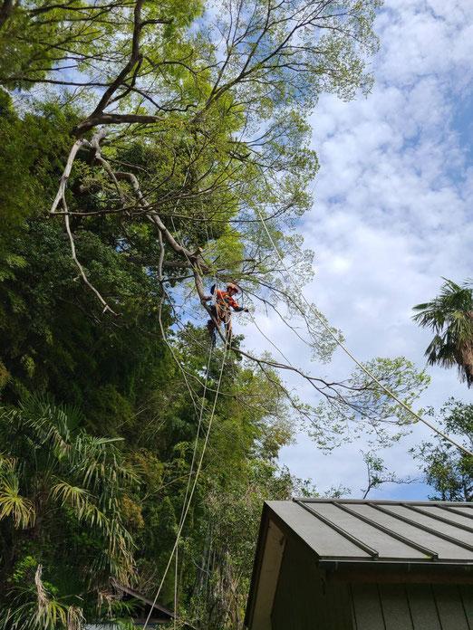 ロープを使って巨木に登って点検、剪定、伐採するところです。