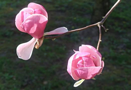 15. April 2018 - Jetzt sind die Magnolien an der Reihe