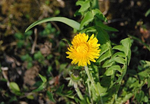 02. April 2021 - Blühender Löwenzahn - noch steht er einsam da, doch in ein paar Tagen leuchten die Wiesen gelb