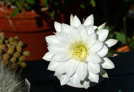 13. August 2020 - «Echinopsis subdenudata», die Bezeichnung sagte mir nicht wenig, nichts. Jetzt weiss ich: Es ist ein Kaktus aus Brasilien, der gestern nur einen Tag geblüht hat. Wunderschön, doch schon vorbei.