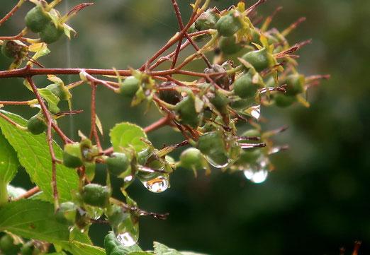 17. August 2021 - Wenn die Tropfen grösser sind als die Früchte, dann ist es nass. Sehr nass!