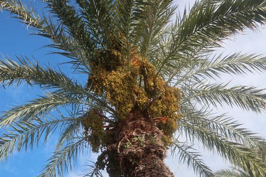 17. November 2019 - Palmenfrüchte, klein, dichtgedrängt unter den Blättern sind Leckerbissen für die Vögel des Südens