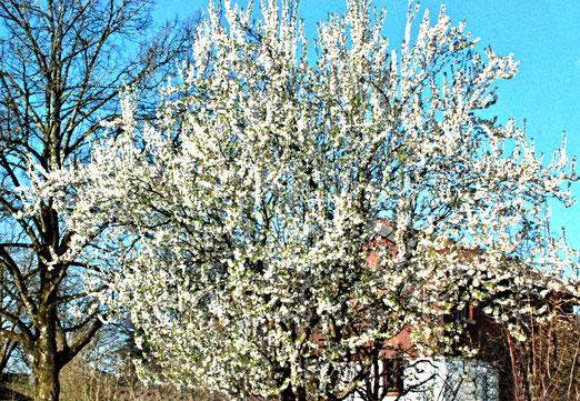 01. April 2021 - Weisse Frühlingspracht