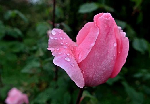 07. Oktober 2019 - Wenn es regnet, werden auch Rosen nass