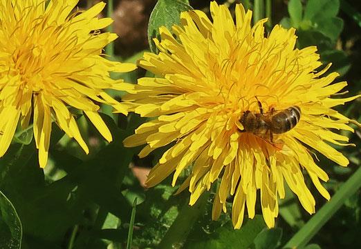 12. April 2018 - Noch tragen die Bienchen keine gelben Höschen. Aber schon bald! Sie freuen sich!