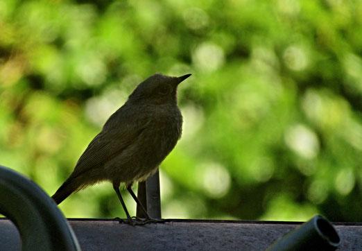 """22. August 2020 - Er wartet geduldig bis das """"Vogelbad"""" frei wird"""