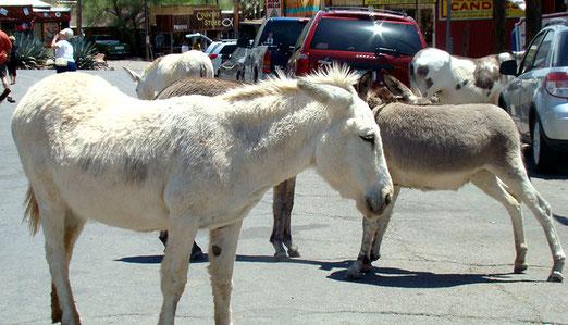 Heute beherrschen bettelnde Esel das Strassenbild von Oatman. Sie behindern den Durchgangsverkehr.