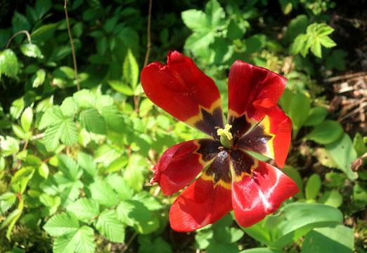 08. Mai 2020 - Das Ende der Tulpensaison (bei uns) kündigt sich an