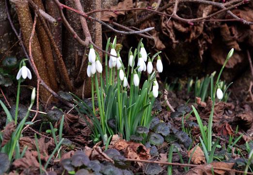 25. Januar 2018 - Kaum ist der Schnee weg, läuten sie den Frühling ein
