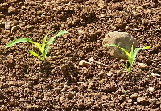 19. Mai 2018 - Wo die Saat aufgeht