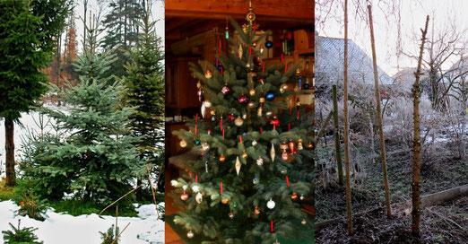 25. Januar 2014 - Ausgedient - Wandlung einer Tanne (Im November im Wald, im Dezember in der Stube, im Januar als Bohnenstickel im Garten)