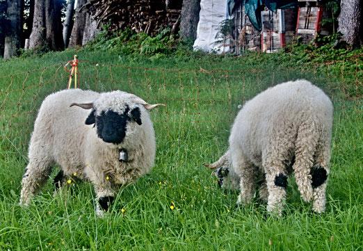09. August 2020 - Es gibt nicht nur weisse Schafe, es gibt nicht nur schwarze Schafe, am schönsten sind die multi-kulti Schafe