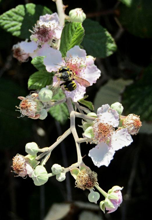31. Juli 2019 - Brombeeren bei 40 Grad am Schatten. Futtertrog für Bienen.