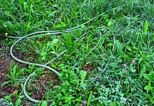 08. August 2019 - Die Schlange, welche das Grün über die heissen Sommertage rettete