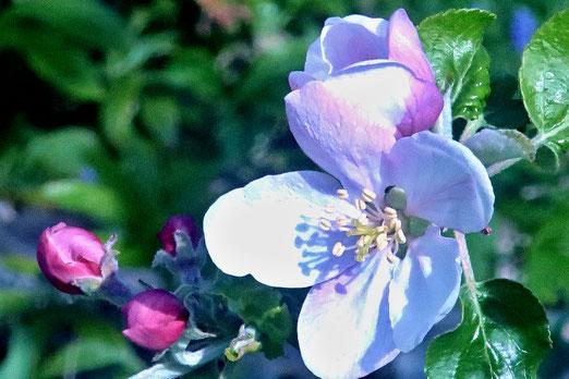 16. April 2020 - Die Blüten des Apfelbaums duften jetzt