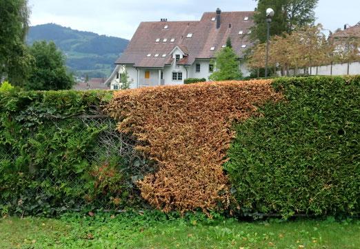 30. September 2020 - Wie die Natur erkrankt: Wurzelfäule beim Thuja