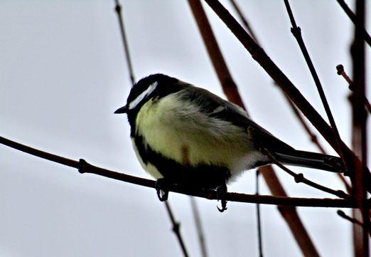 16. Dezember 2018 - Nahrungsmangel und Minusgrad. Die daheimgebliebenen Vögel plustern ihr Federkleid auf und tragen so eine Art Daunenjacke