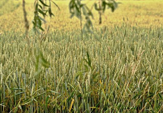 07. Juli 2019 - Getreide. Bestimmt zur Nutzung als Futtermittel