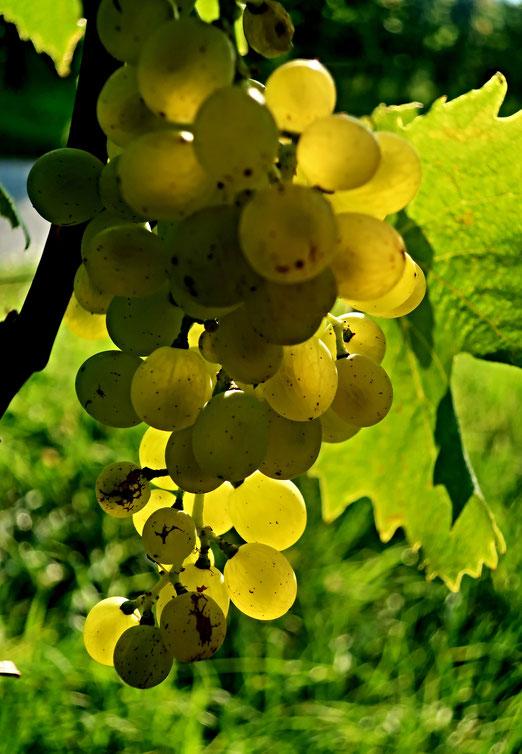 19. September 2020 - Auftakt zur Weinlese - die Trauben sind reif