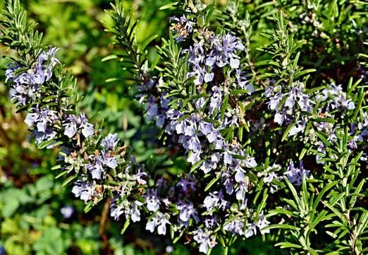 18. April 2020 - Die Blüten des Gewürzstrauchs Rosmarin sind nicht nur schön - sie sind  auch essbar.
