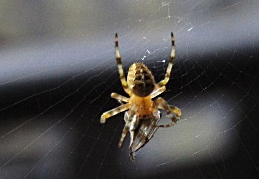 18. Juli 2020 - Die Spinne misst nur 7 Milimeter. Doch ihr Opfer hat keine Chance, auch wenn es nur ein Mücke ist.