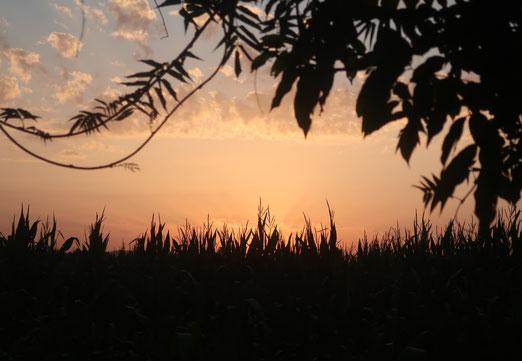 18. August 2021 - Das Maisfeld verabschiedet sich vom sonnigen Abend