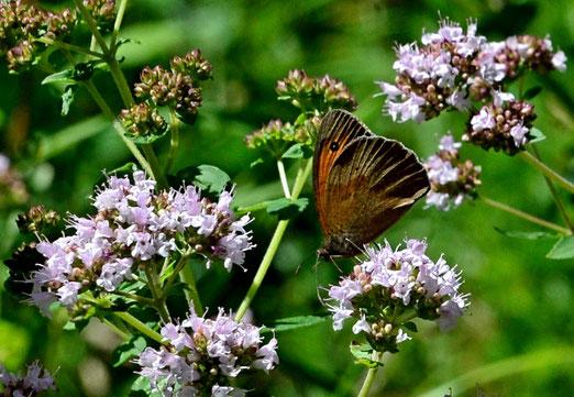 06. Juli 2020 -Zeit der Schmetterlinge. Der Schwalbenschwanz ist meiner Kamera entwischt, doch auch das Brauncheckauge ist schön.