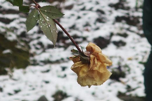 12. Februar 2020 - Kann eine Rose traurig sein?