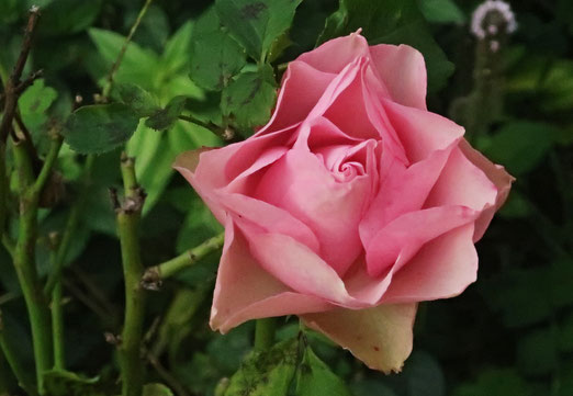 23. September 2020 - Die letzte Rose (im Garten)