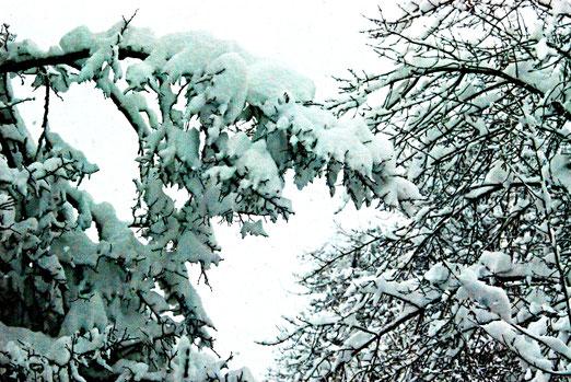 18. Januar 2021 - Müde Äste tragen. Wohl nicht mehr lang, der Föhn bricht ein.