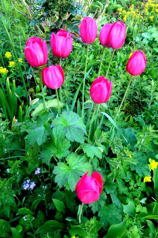 25. Mai 2021 - Tulpen aus...  Bubikon