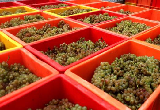 21. Oktober 2019 - Die Lese wird eingefahren für den Wein, der erst in den nächsten Jahen getrunken wird.