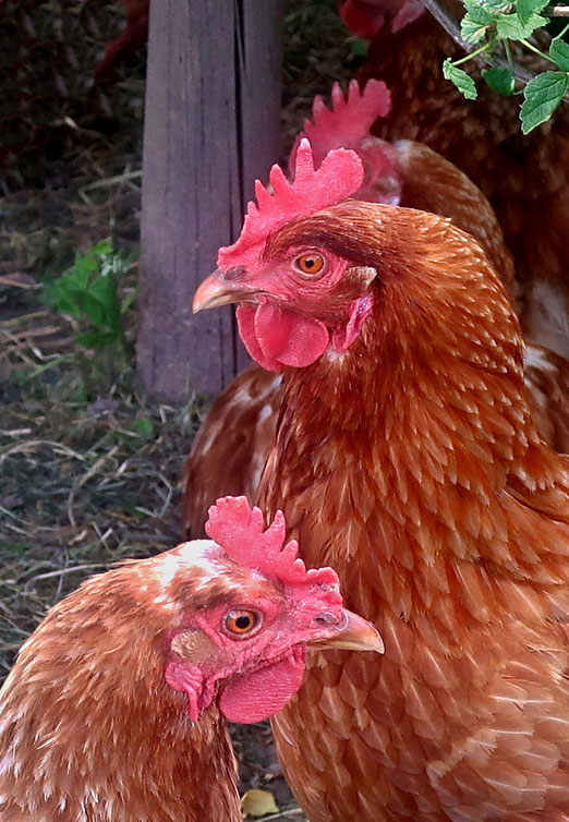 """12. Mai 2018 - """"Und hab ich manchmal keine Lust, ein kluger Mensch zu sein, erwacht ein Wunsch in meiner Brust und ich gestehe ein. Ich wollt ich wär ein Huhn..."""""""