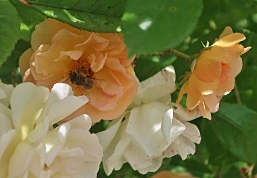 01. Juni 2020 - Arbeits- und Tummelplatz der Bienen