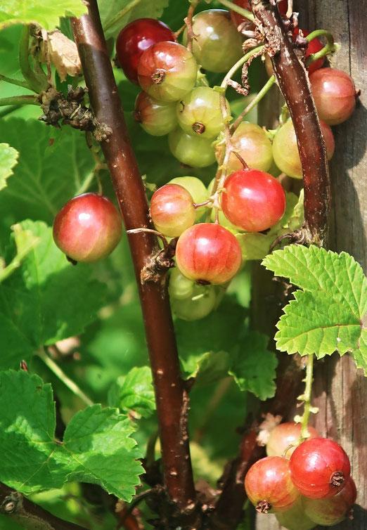 13. Juni 2021 - Wenn Beeren sich röten...