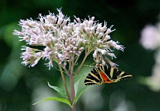 15. August 2021 - Oase für Schmetterlinge. Ein Gartentiger?