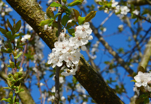 11. April 2018 - Die ersten Bäume blühen. Sie möchten Früchte tragen.