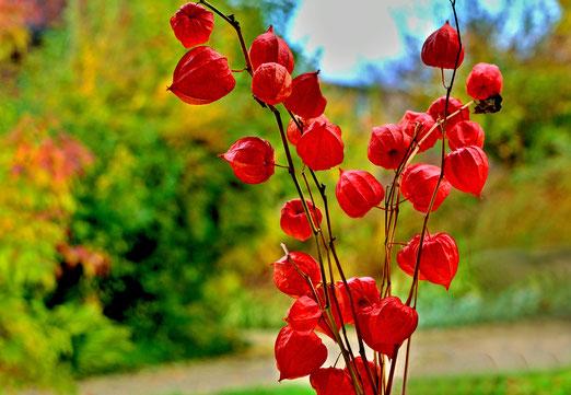 30. Oktober 2020 - Die Lampionblume, das Herbstleuchten im Garten