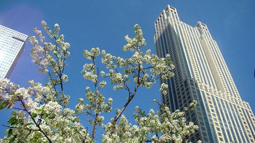 Chicago: Kirschbäume blühen zwischen den Wolkenkratzern