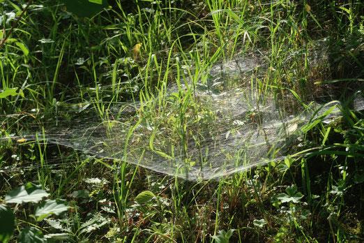 26. Juni 2018 - Hängematte für Insekten - oder nur eine raffinierte Falle?
