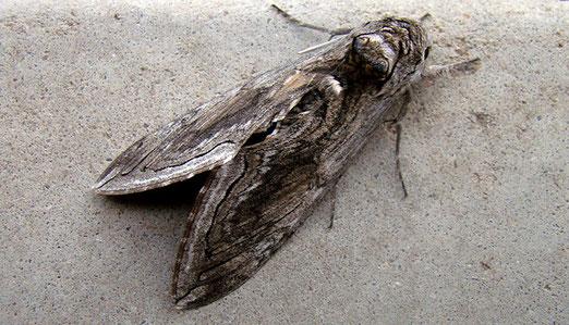 Ein riesiger Totenkopffalter hat sich auf meinem Motelfenster niedergelassen.