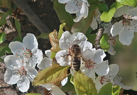 18. März 2020 - Bienen haben es zuerst gemerkt: der Frühling ist da!