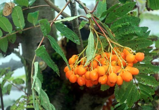 12. Juli 2020 - Die Vogelbeere (Eberesche), bei den alten Germanen eine heilige Frucht