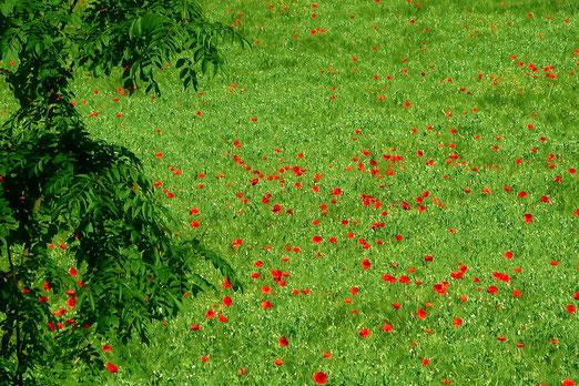 16. Juni 2021 - Mit roten Feldmohnblumen hatt' ich dein Haar geschmückt. Die roten Blumenblätter, die sind nun alle zerdrückt... (Hermann Löns 1866-1914)