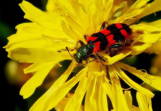28. Mai 2021 - Zottiger Bienenkäfer (Trichodes alvearius). In der Schweiz leben rund 6500 Käferarten, die meisten von ihnen führen ein Leben im Verborgenen.