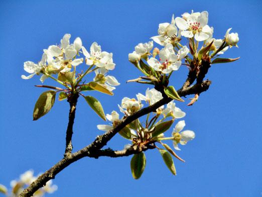 08. April 2020 - Unser Birnbaum blüht - drei Tage, dann ist die Herrlichkeit vorbei